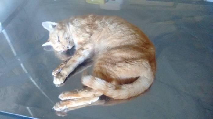 Lello, vai deixar Saudades este gato, tinha aproximadamente 15 Anos era de uma ONG, que mantida em péssimas condições na época eu era voluntário dela, quando retirei ele, e outros 30, que estavam podres, de gripe desnutridos em seu Gatil isto a 5 anos atrás, 30\06\15 ele se foi de insuficiência Renal.